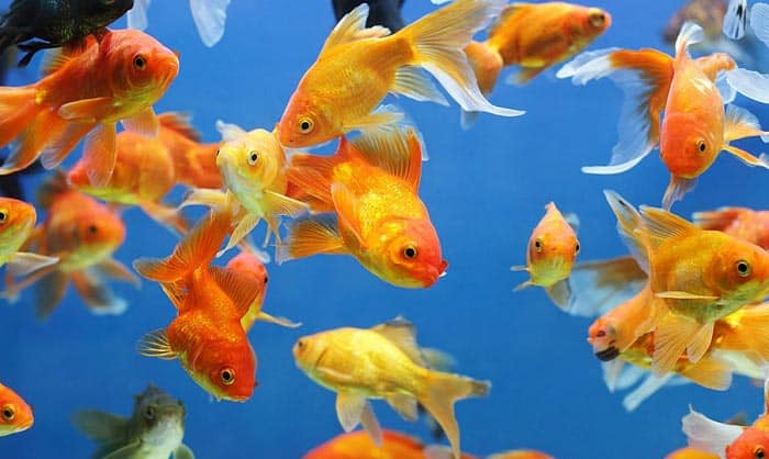 best aquarium for goldfish