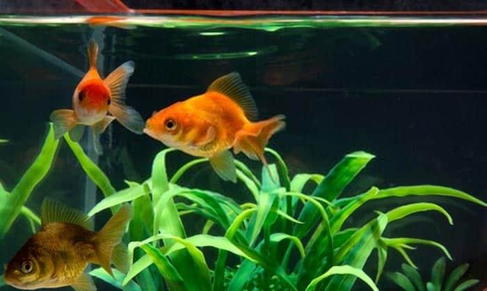 best fish tank for goldfish
