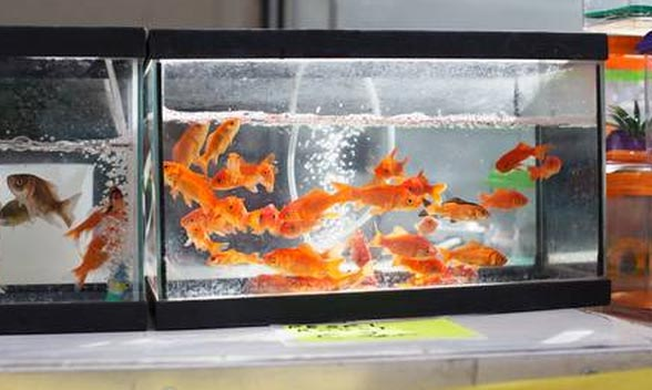 best goldfish tank