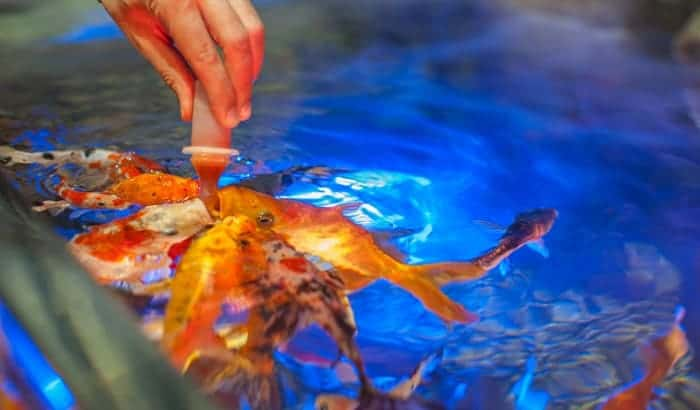 best-koi-food-for-growth-and-color