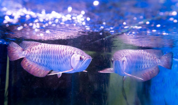 arowana-fish-food