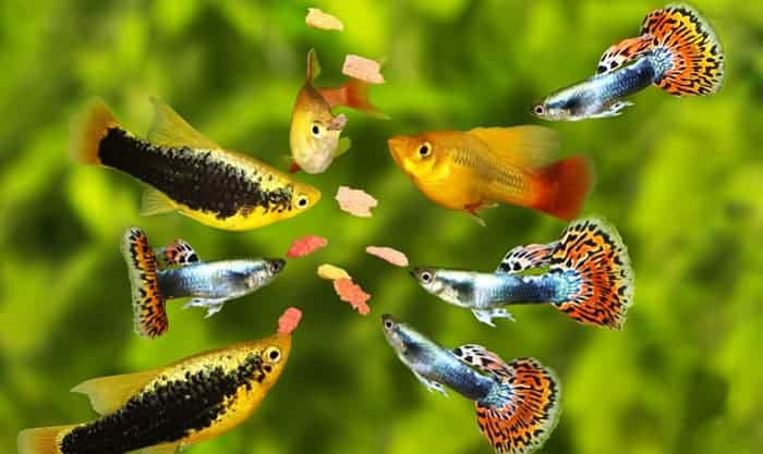 best-fish-food-for-guppies
