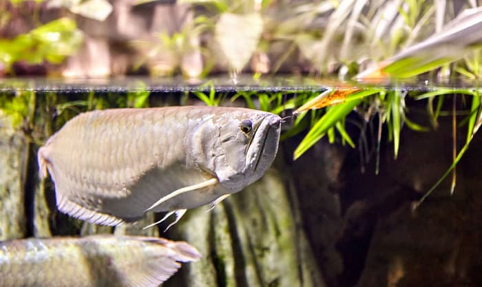 best food for arowana