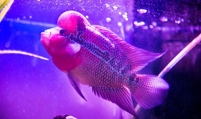 best-food-for-flowerhorn-fish-for-head-growth