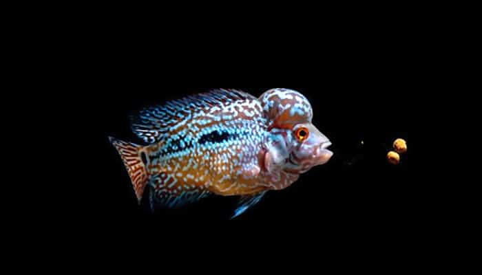 best food for flowerhorn