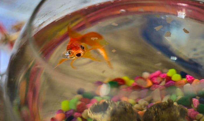 best-food-for-goldfish