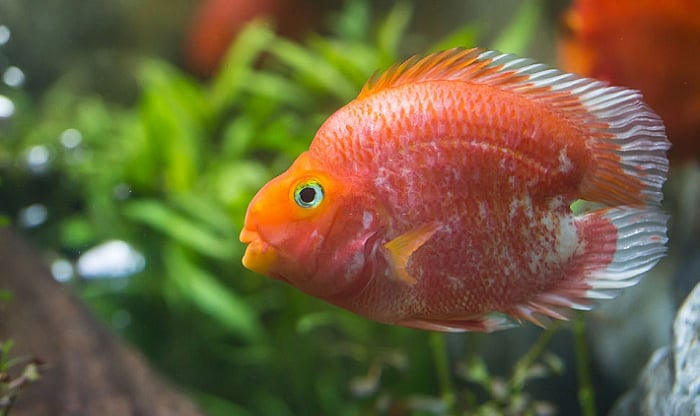 best food for parrot fish
