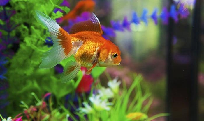 gold-fish-food