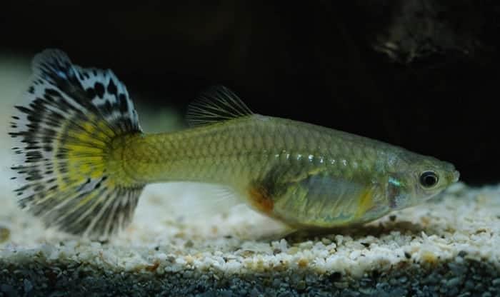 guppy-fish-food