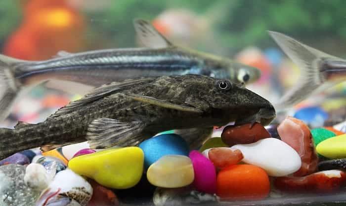 pleco-fish-food