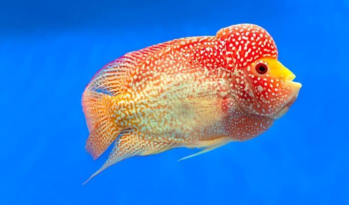 top-10-flowerhorn-fish-food